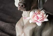 Weimaraners / One of the breeds I really love. / by Mokkie Hamrer