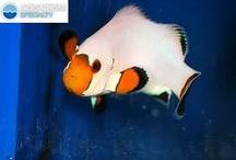 ClownFish / by Aquarium Specialty