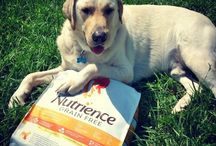 The #BigYellowDog / All about our yellow lab, the big yellow dog, Matthew.  / by Jenny Hodges