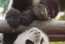 pandas / by shannon homick
