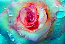 A Rose is a Rose / by Harriet Swindell