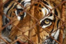 Save the Tigers Webquest / 7th Geography Webquest / by Lockerman Library