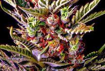 Weed / by Christophe Giroud