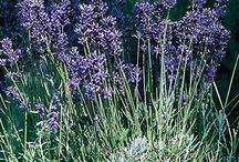 Perennials / by Backyard Gardener