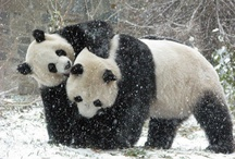 ~~ Panda Bears ~~ / by Terri Bleakney