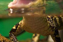 Alligators & Crocodiles!!!  / by Holly Senger