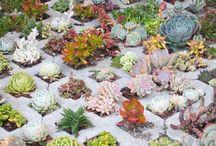 Succulent Gardens / Succulent gardens / by Sharon Cayetano