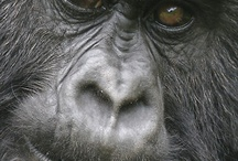 gorillas / What's not to love? / by 600 lb gorillas, Inc.