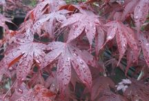 Trees - Japanese Maples / Urban Tree Farm Nursery has a large selection of beautiful Japanese Maples. / by Urban Tree Farm Nursery