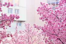 Cherry Blossoms / by Rebecca Lee