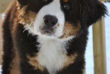 Bernese Mountain Dogs / Friends for Delilah / by Suzie Price