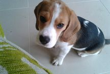 Beagles and other cuties x / beagles / by Beckie B
