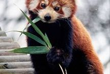 Ailu's Red Panda Relatives / Ailu, my Red Panda mascot, is slightly different than her red relatives, but she's just as cute and just as interesting. Check 'em out and learn about this cute and threatened species. / by Jessica S
