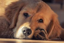 Golden Retrievers - Photography / by The Daily Golden