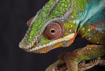 Chameleons! / by Candi Parker