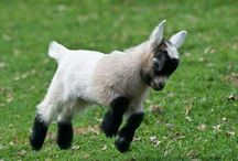 Goats  / by Sarah Strout