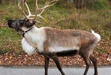 """REINDEER!   (Santa""""s ???)  ;-) / by Lori Decker"""