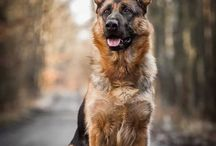 German Shepherd Love! / GSD!  The most loyal and magnificent animal!  Love my Charley Browne !! / by Heather Hurd