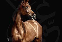 Arabian Horses / by Moza .