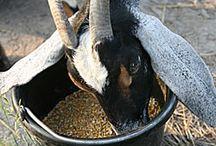 Homesteading: Goats / by Jennifer