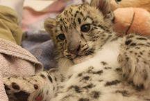 Niko the Snow Leopard Cub / by Tulsa Zoo