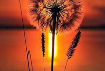 Dandelion Wishes / by Denise Sebring