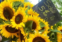 Sunflower and sunshine / by Maryanne Anderson