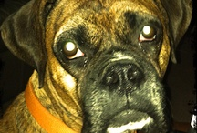 Boxer Dogs, Oh I Love them soo / by Lorie Witt
