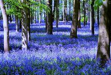 Bluebells / by Katherine Thornton