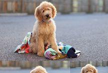 Dogs / Golden doodle  / by Dottie Crosley