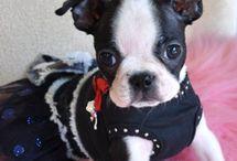 I  ❤ Boston Terriers!! / by Tiffany Long