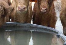 Cows & Calves ❤ / by HANNAH LARSEN