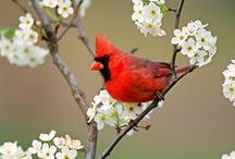 Cardinal love / by Helen Dunphy Bennett