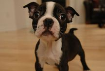 Boston Terriers Have My Heart / by Kudos Kitchen By Renee