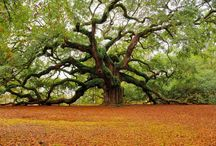 Oak Trees <3 and other great trees / My obsession with oak trees probably started because of Forrest Gump. I used to watch the movie everyday after school as a child..  / by Montanna Nicoson