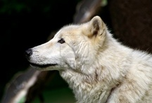 WOLVES & other wild canines / by ClydeAngel Collins