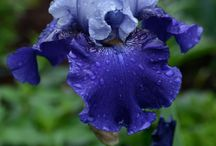 Iris Love! / by Peggy Keel Burton