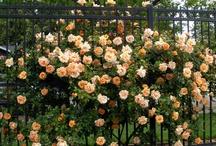 Sweet Rose / by PongNheng Pimm Ps