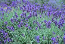 Lavender Meadow / by Rosanna LaBonte