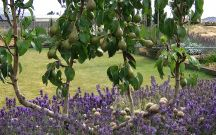 Apple tree bed / Ideas for a long and thin west-facing flower bed in garden with two espalier apple trees against a wall / by Jenny L