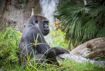 Primates / Celebrating all the beautiful shapes and sizes of the order we belong to.  / by San Diego Zoo