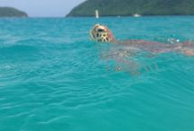 Turtle in Maho Bay / by Sara Vasquez