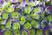 Hydrangeas and Hostas / by Beth Jackson