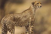cheetah  / by Anna Baran
