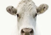 Moo / Yes, I have been pulled over for speeding while my head was cranked to the field of cows.  How can that be my fault?  My foot wasn't even on the gas peddal -- I was coasting. / by Dana Heironimus