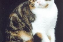 SCOTTISH FOLD	 / by Cat Fanciers Association