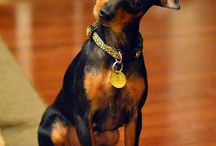 Min Pin/Manchester Terrier / by Kelsi M