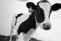 Moo! / by Cabot Cheese