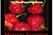 moruga scorpion, butch t, jonah 7pot, yellow bhut jolokia ghost pepper, red bhhut jolokia ghost pepper / by Bhut Jolokia