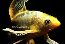 Pond Fishes / Koi, Butterfly Koi, and Goldfish for Ponds. / by AquariumFish .net